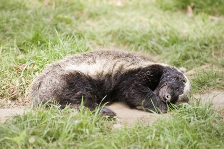 This is an image of a honey badger sleeping.
